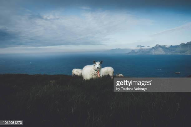 Sheeps above the sea, Lofoten Islands, Norway