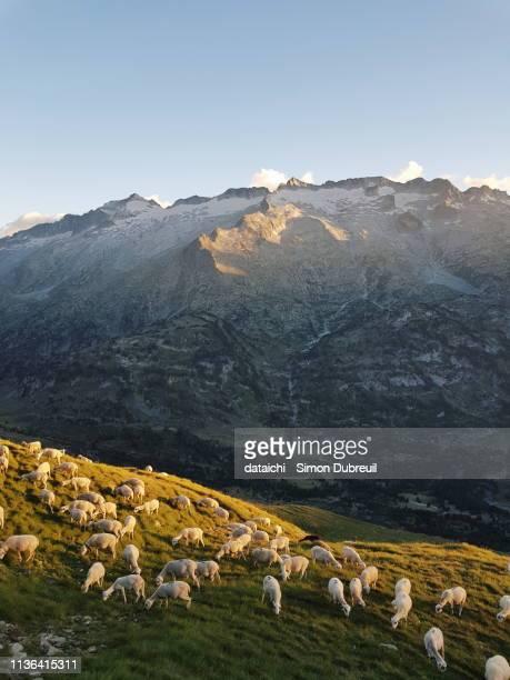 sheeps and mount aneto, summit of the pyrénées - aragon fotografías e imágenes de stock