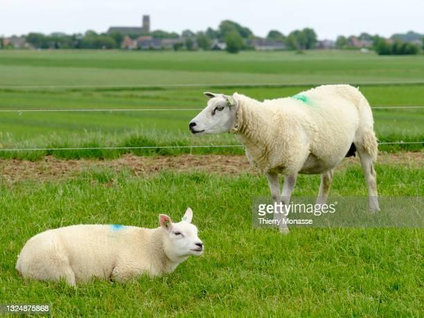 Sheeps are grazing on a field in a levee in Blije a small village in Noardeast-Fryslân on June 20, 2021 in the Friesland Province, Kingdom of the...