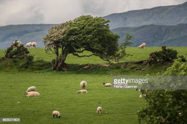 Sheeps are pictured on a green meadow on May 31 2017 in Bantry Irland