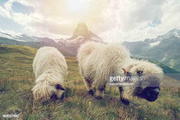 sheeps at matterhorn - valais canton stock pictures, royalty-free photos & images