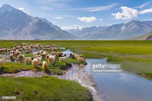 Sheeps at Zanskar valley, Kargil