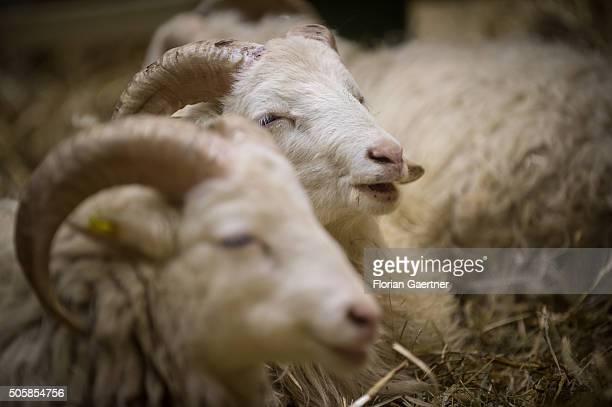 Sheeps chew on January 19, 2016 in Berlin, Germany.
