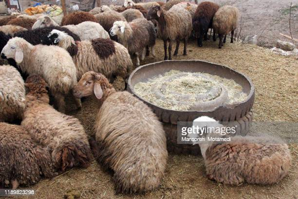 sheeps eating food - eid ul fitr illustrations stock pictures, royalty-free photos & images