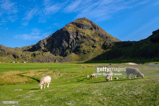 sheeps eating grass at utaklev in lofoten islands norway, europe - finn bjurvoll stock pictures, royalty-free photos & images