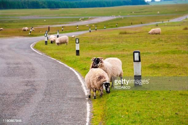 Sheeps. Exmoor National Park. Cornwall. England. Great Britain.