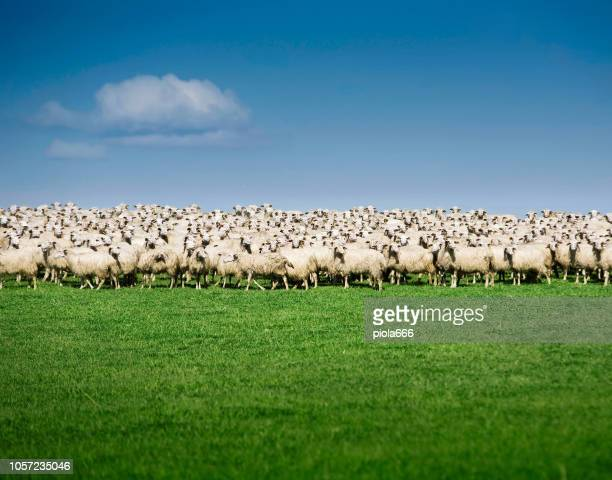 sheeps flock - ovino foto e immagini stock