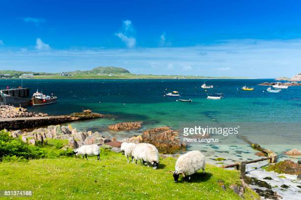 Sheeps grazing free near Crystal Clear Waters of Fionnphort Bay, Isle of Mull, Scotland