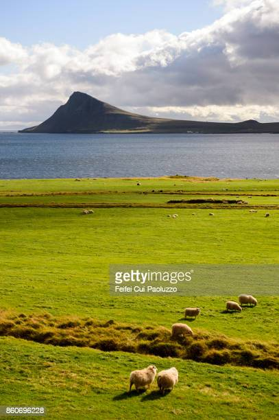 sheeps grazing in the field at krossnes, westfjords, iceland - westfjords iceland stock photos and pictures
