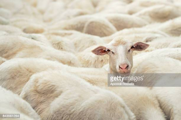 sheep's head in the flock in the countryside - sheep stock pictures, royalty-free photos & images