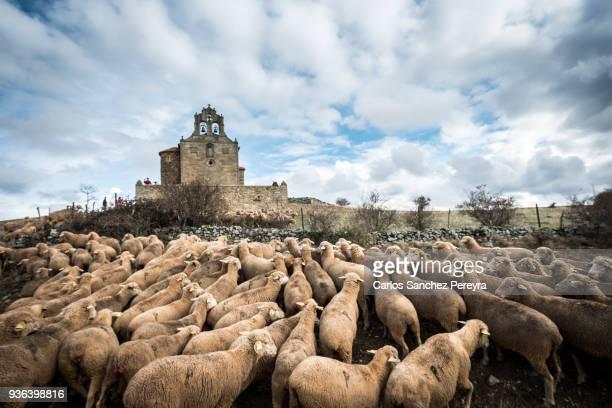 sheeps in a transhumant route in spain - almabtrieb stock-fotos und bilder