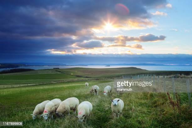 sheeps in ireland at sunset - causeway coastline, country antrim - caratteristica costiera foto e immagini stock