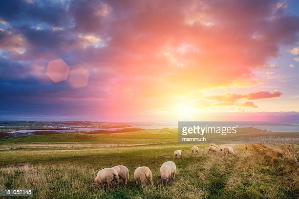 sheeps in ireland at sunset - northern ireland stock photos and pictures