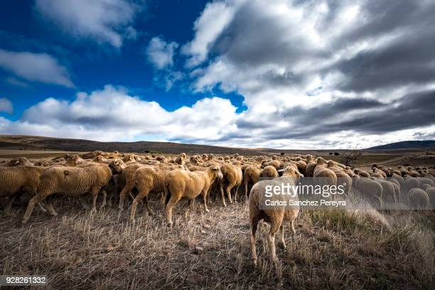 sheeps in the countryside of spain - 羊の群 ストックフォトと画像