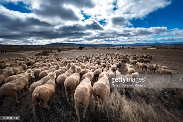 sheeps in the countryside of spain - almabtrieb stock-fotos und bilder
