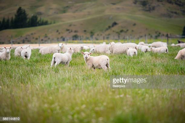 sheeps in the middle of meadow in the mountains. - agnellino foto e immagini stock