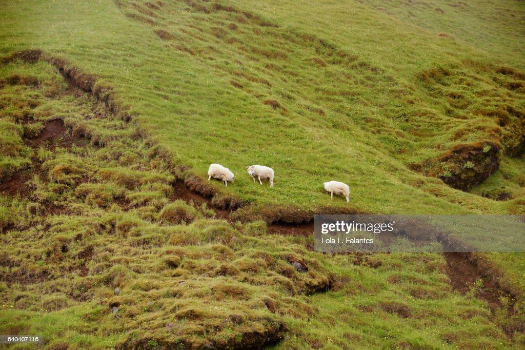 Sheeps in the mountain : Foto de stock
