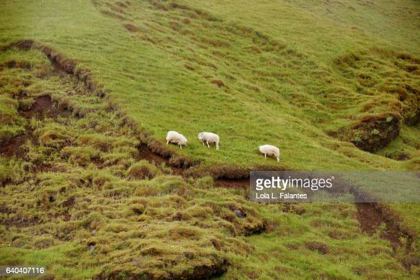 sheeps in the mountain - icelandic sheep stock photos and pictures