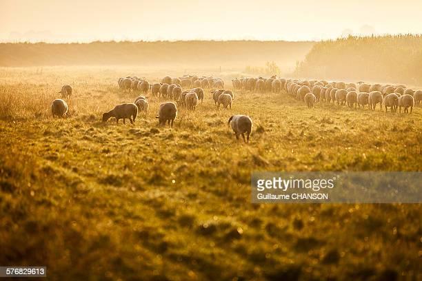 Sheeps of salt meadows, Mont Saint-Michel bay