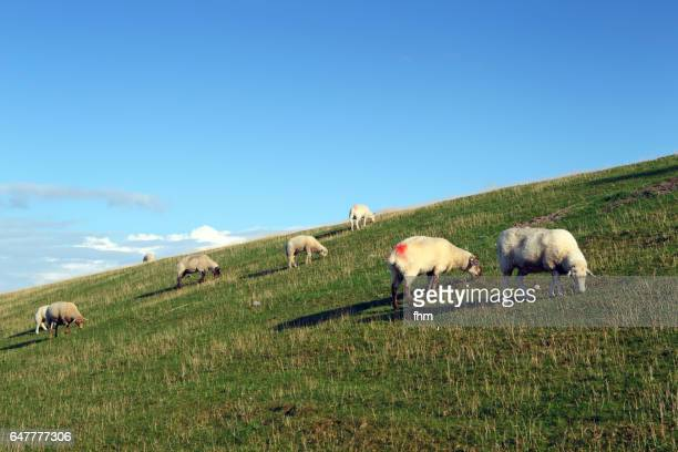 Sheeps on the dike