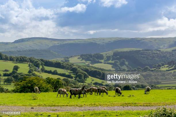 sheeps - llandovery stock photos and pictures