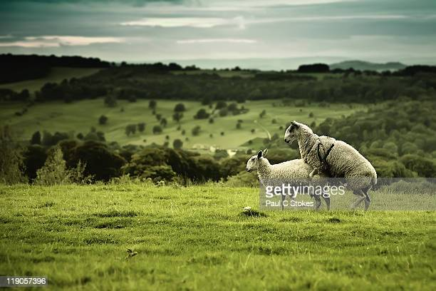 sheeps - accouplement animal photos et images de collection