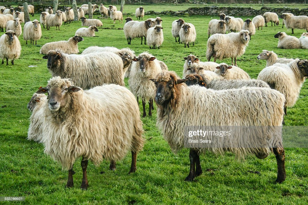 Sheeps. : Foto stock