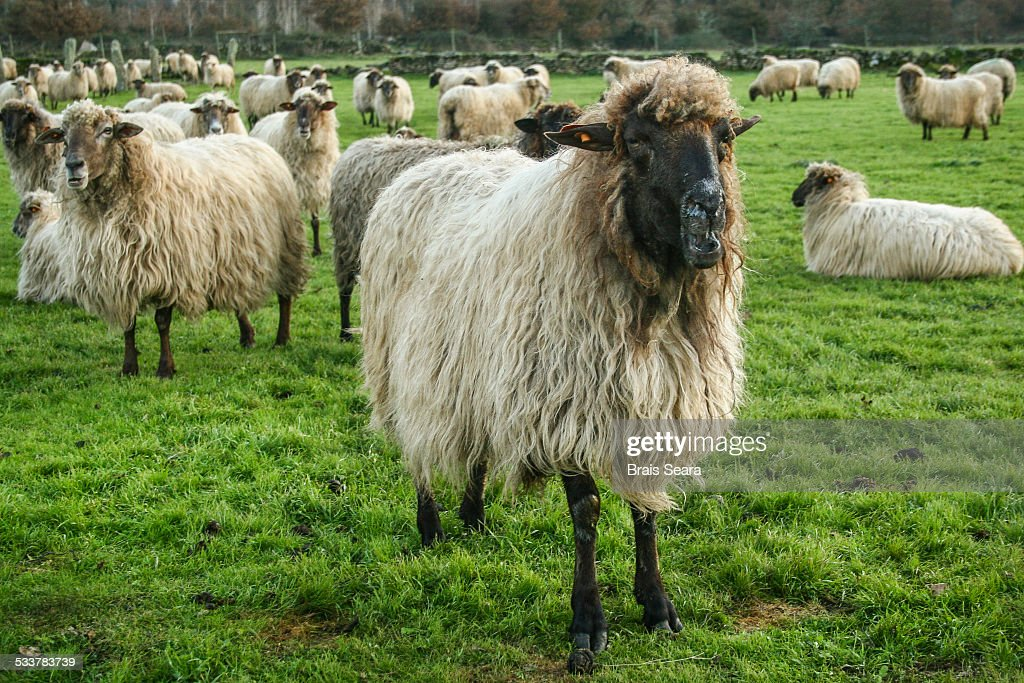 sheeps : Foto stock