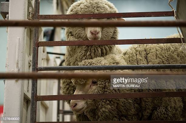 Sheeps wait behind a fence to be sheared during the 50th New Zealand International Merino Shearing championships on September 29 2011 at the Molyneux...