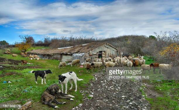 sheep,sheepcote,sheep dogs 2 (wake-upsluggard!) - dimitrios tilis stock pictures, royalty-free photos & images