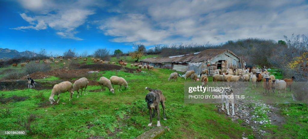 Sheep,sheepcote,sheep dogs : Stock Photo