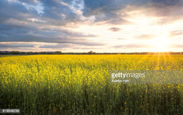 sheet of cole flowers - brassica stock photos and pictures