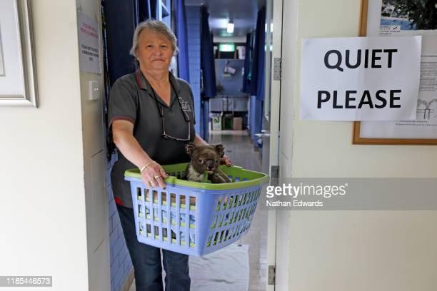 Sheila Bailey carries an injured koala in a plastic basket at The Port Macquarie Koala Hospital on November 29, 2019 in Port Macquarie, Australia....