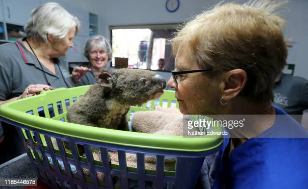 Sheila Bailey Judy Brady and Clinical Director Cheyne Flanagan tend to a koala named Paul from Lake Innes Nature Reserve as he recovers from burns at...