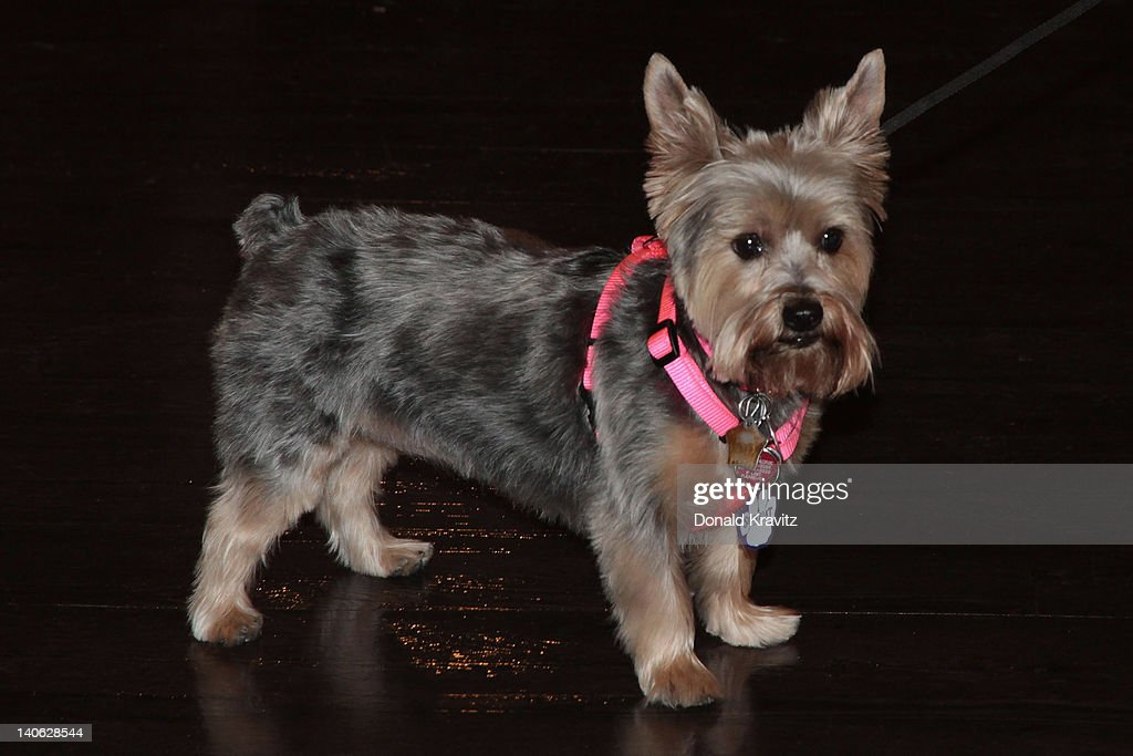 Shelby a Yorkshire Terrier attends the one year anniversary of being pet-friendly at the Showboat Atlantic City on March 3, 2012 in Atlantic City, New Jersey.