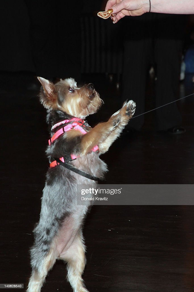 Shelby a Yorkshire Terrier stands for a treat and attends the one year anniversary of being pet-friendly at the Showboat Atlantic City on March 3, 2012 in Atlantic City, New Jersey.