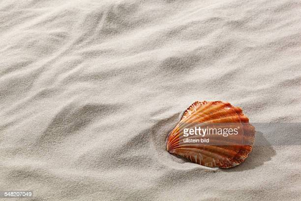 shell at the sandy beach