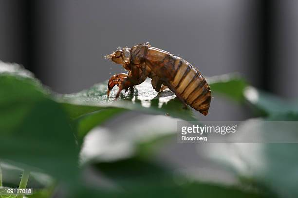 A shell left behind on a leaf after a cicada transforms into adulthood in Fairfax Station Virginia US on Friday May 17 2013 After 17 years of living...