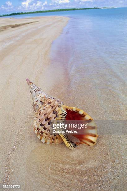 Shell Lying in Sand