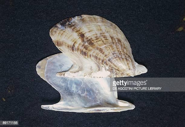 Shell of Pteria Hirudo