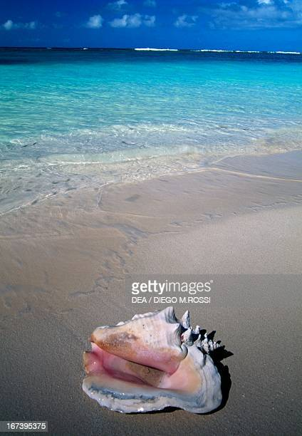 Shell on a beach in the area of Setting Point Anegada Island British Virgin Islands