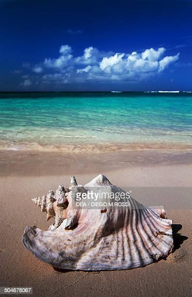 Shell on the beach near Setting Point Anegada Island British Virgin Islands British Overseas Territory United Kingdom