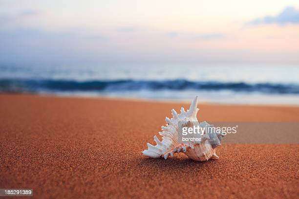 shell on the beach - conch shell stock pictures, royalty-free photos & images