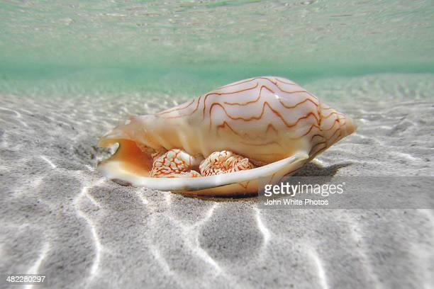 shell underwater in shallow water. australia. - 浅い ストックフォトと画像