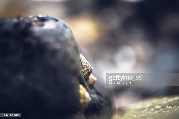 shellfish at seaham's chemical beach - county durham - limpet stock photos and pictures
