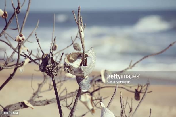 Shells Decorating Trees on Assateague Island