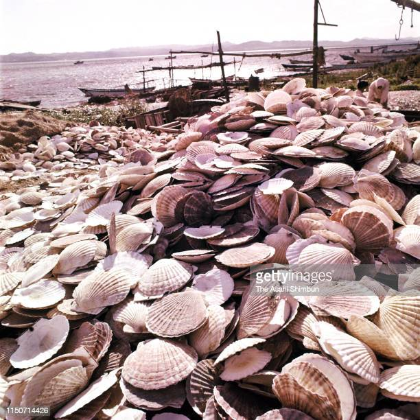 Shells of scallops are seen at Lake Saroma on the final day of the scallop fishing on October 12 1962 in Saroma Hokkaido Japan