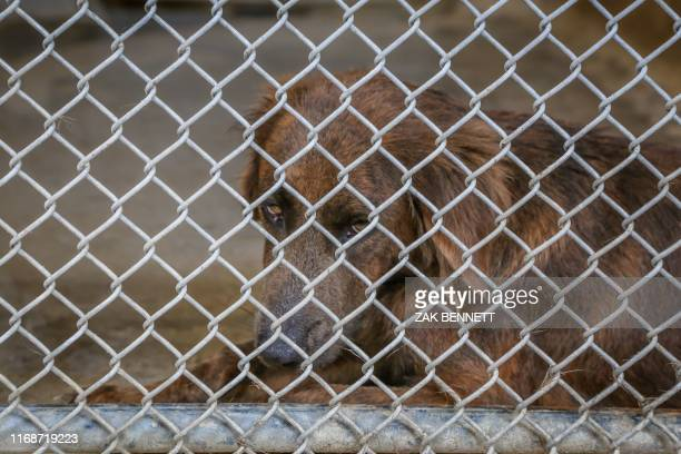 Sheltered dogs who have missing owners wait to be claimed by their owners who are assumed dead or to be rescued at the Humane Society of Grand Bahama...