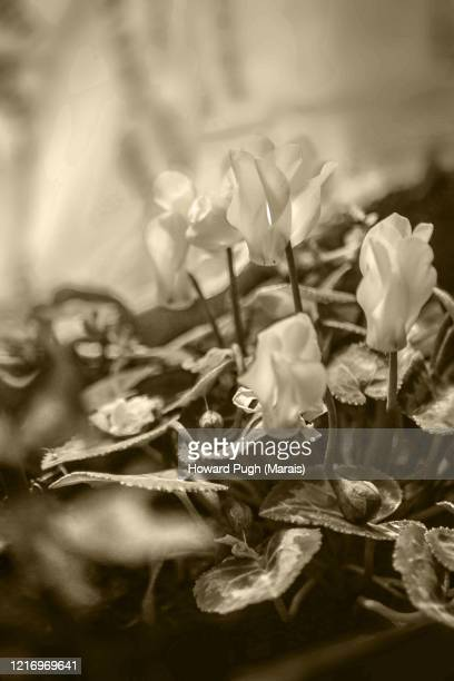 sheltered spring flowers - howard pugh stock pictures, royalty-free photos & images