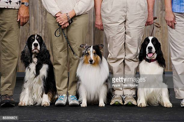 sheltie between two springer spaniels - contest stock photos and pictures